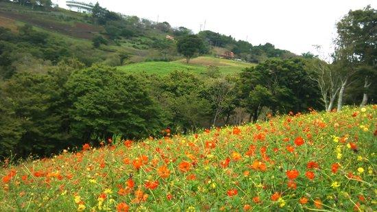 Futtsu, Japan: 斜面いっぱいのコスモス