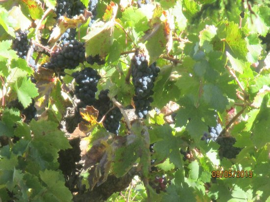 Zinscape : Grapes in Vineyard.  Can see from back patio.