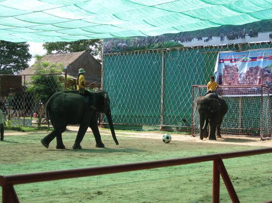 Elephant Study Center Surin: 象のサッカーPK対決