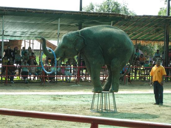 Elephant Study Center Surin: 象の定番曲芸