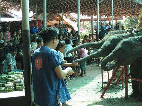 Elephant Study Center Surin: 象たちのショー、チップのサトウキビをおねだり