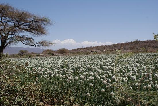 Tindiga Tented Camp: Some plantation
