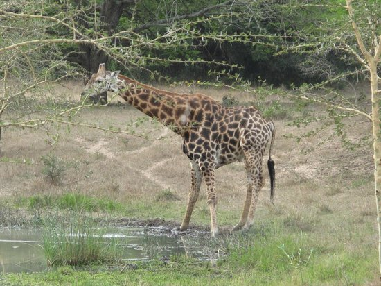 Makhasa Game Reserve and Lodge: salutation de la Girafe