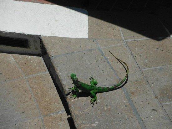 Aruba Marriott Resort & Stellaris Casino: iguana by pool