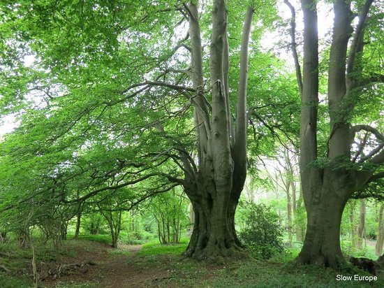 Cotswold Way: Old trees near Cheltenham.