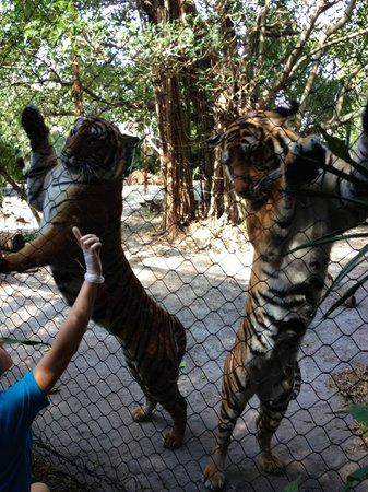 Palm Beach Zoo & Conservation Society: Dancing Tigers? So cute!