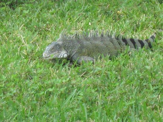 Sunscape Curacao Resort Spa & Casino: Iguana in the garden