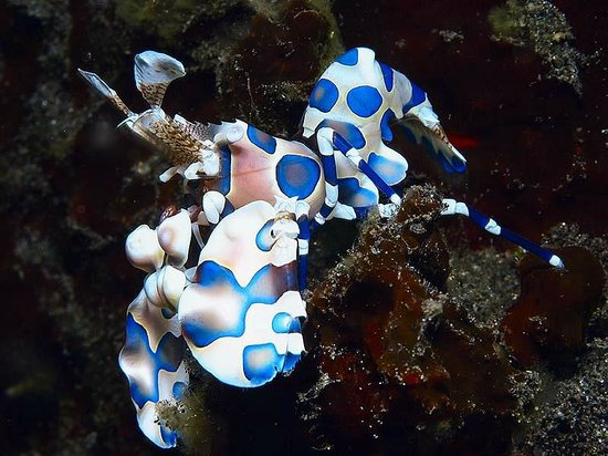 Hotel Uyah Amed & Spa Resort: Harlequin Shrimp