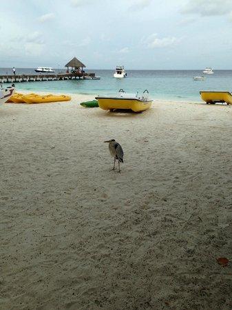Vivanta by Taj Coral Reef Maldives: main beach