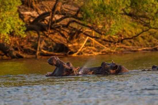 Chundu Island Camp: Hippo's