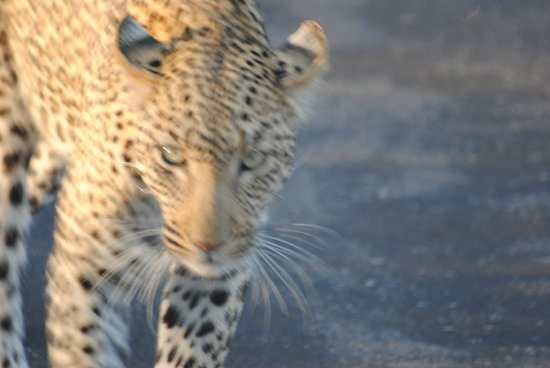 Kambaku Safari Lodge: Leopard 2m away !
