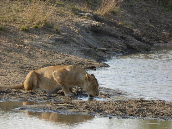 Honeyguide Tented Safari Camps: Lionness at watering hole
