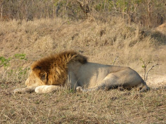 Honeyguide Tented Safari Camps: Lion being lazy