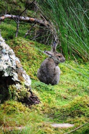 Salmonier Nature Park: Snowshoe Hare