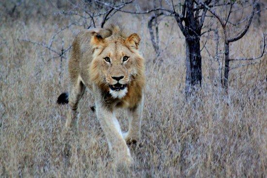 Simbambili Game Lodge: Lion - Game Drive