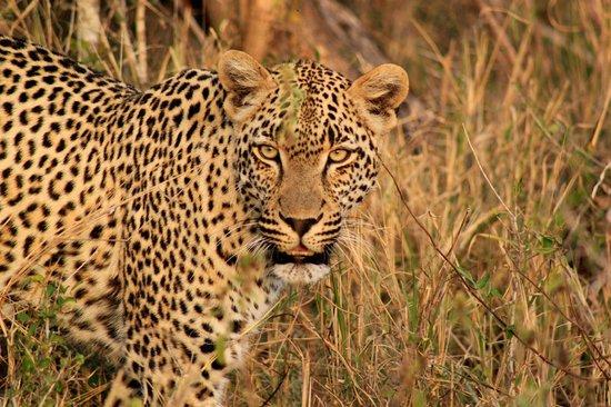 Simbambili Game Lodge: leopard eyes