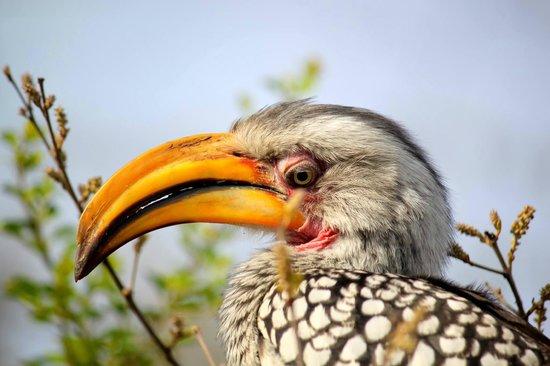 Simbambili Game Lodge: yellow billed hornbill