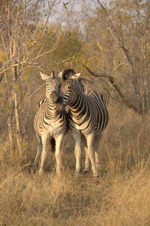 Simbambili Game Lodge: zebra love