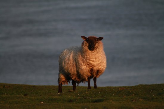 Inishbofin House Hotel & Marine Spa: One of the Island inhabitants