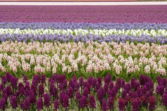 NH Noordwijk Conference Centre Leeuwenhorst: Campo de flores próximo ao hotel - 150 m