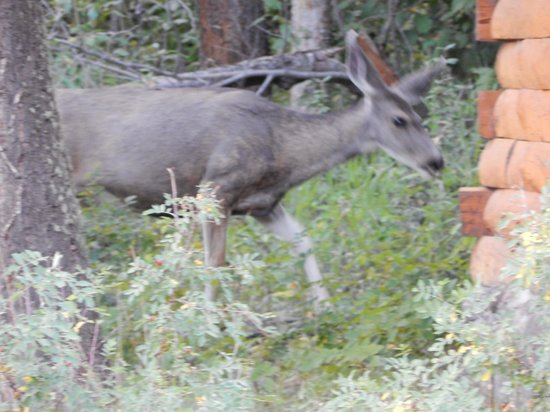 Shoshone Lodge & Guest Ranch: Camp Sacajawea #14/15 deer right by our cabin