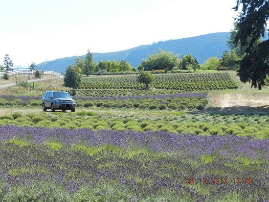 Purple Haze Lavender Farm: Farm