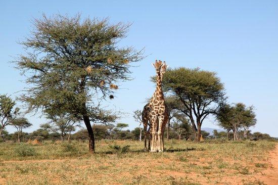 Okonjima Bush Camp: Game you will see