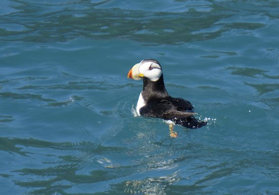 Resurrection Bay : A puffin!