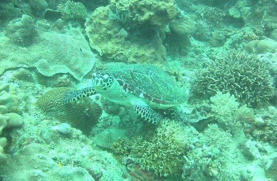 Boracay Island Divers: sea turtle