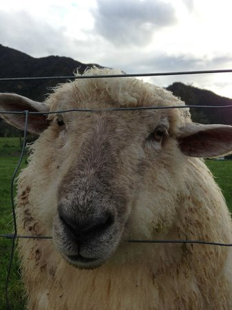 Smiths Farm Holiday Park: One of the sheep at the farm stay