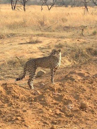 Makweti Safari Lodge: The beautiful Cheetah mom