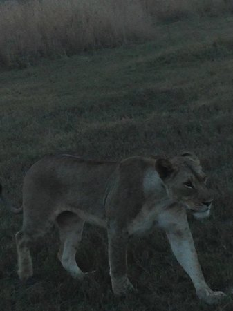 andBeyond Phinda Rock Lodge: Lioness on the way to the kill