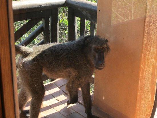 Hluhluwe Umfolozi Hilltop Camp: visite du singe