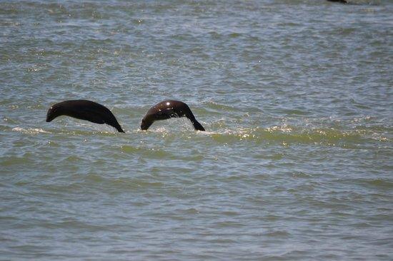 Eco Marine Kayak Tours: Seals jumping