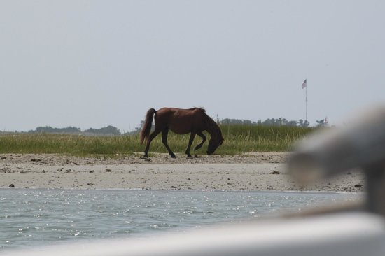 Waterbug Tours : One of the wild horses we saw on Carrot Island during the boat tour