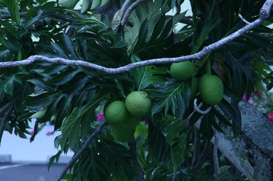 The Painted Church: Breadfruit tree on the grounds