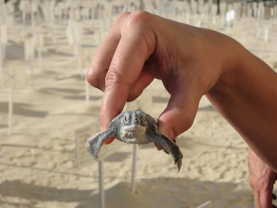 The Royal Caribbean: helping to save the turtles