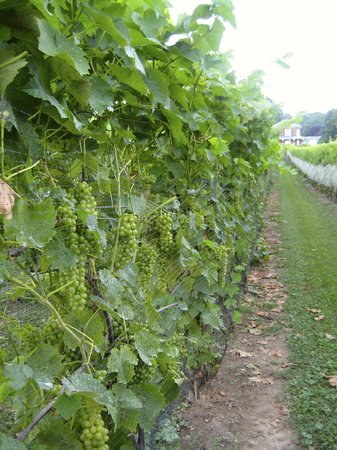 Waupoos Estates Winery: Vineyard at Waupoos