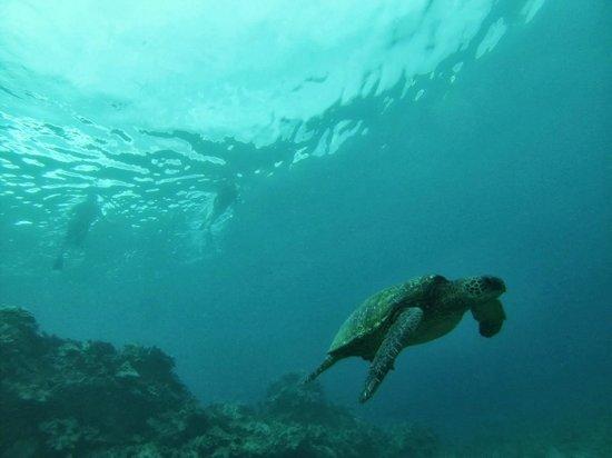 Hawaiian Paddle Sports: following a Green Sea Turtle