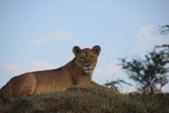 Offbeat Mara Camp: King of the jungle