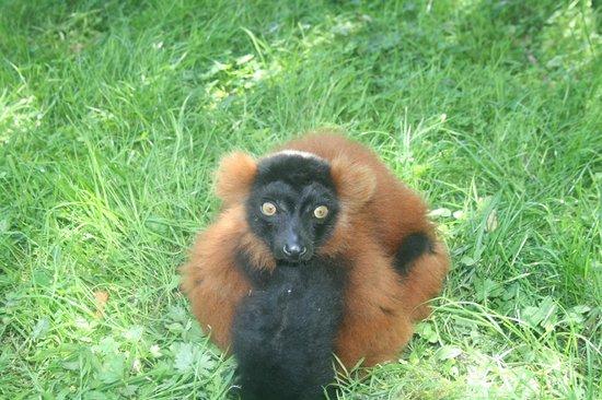 Domaine de la Bourbansais : Free Roaming Lemur :0)