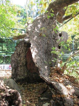 Hippocrates Tree : Tree of Hippocrates