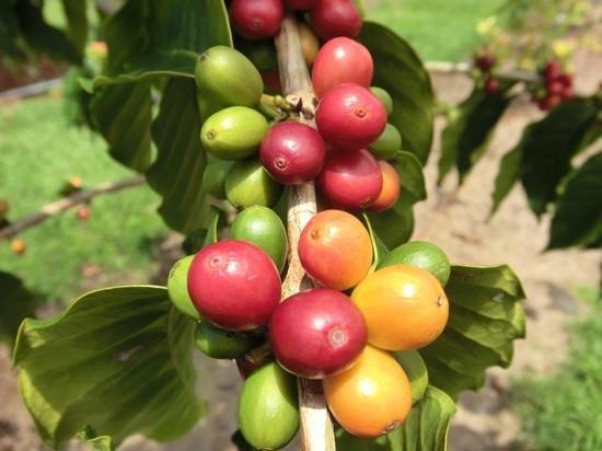 Mauka Meadows: コーヒーの実