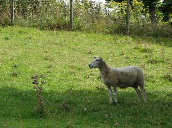 สวนปะติมากรรมยอร์คไชร์: Sheep at Yorkshire Sculpture Park