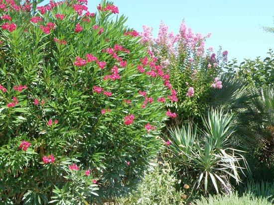 l'Escleriade: Superbes lauriers roses au bord de la terrasse