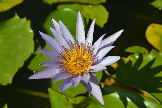 Fiori acquatici foto di parco giardino sigurt valeggio for Fiori acquatici
