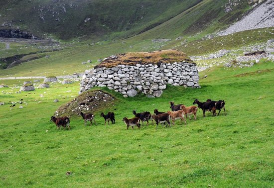 Pictures Of Sheep From St Kilda Islands