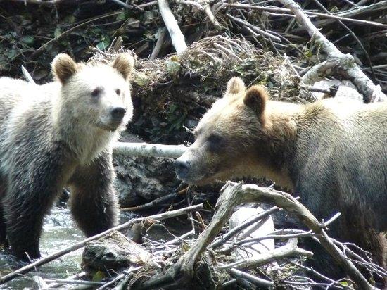 Aboriginal Journeys Wildlife and Adventure Tours: Grizzlies Sept. 1st