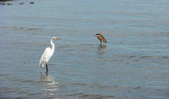 Hotel Balneario San Juan Cosala: Herons fishing