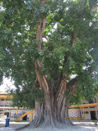 National Museum : Fig tree